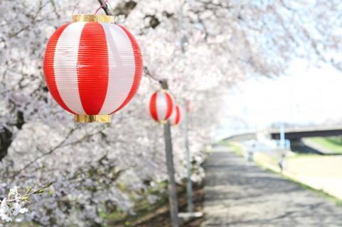 桜(さくら)お花見